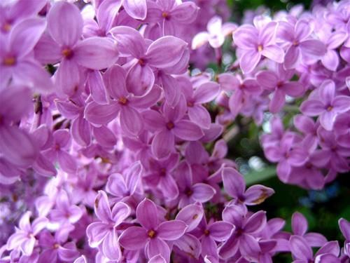 http://feb28.com/wp-content/images/lilac-flowers-3.jpg